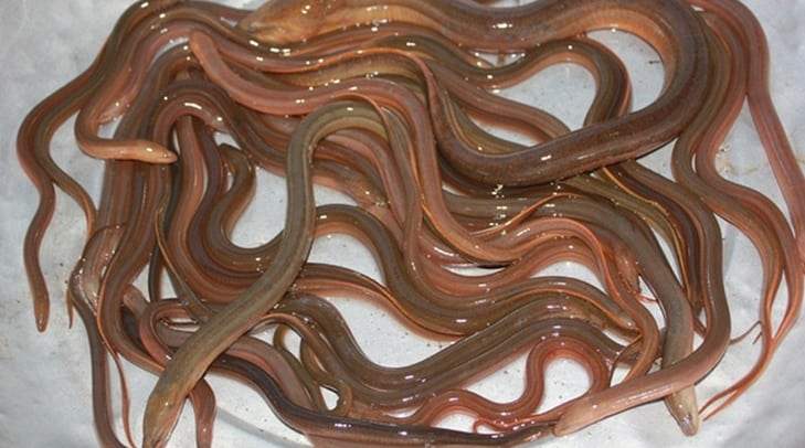 Nằm mơ thấy lươn